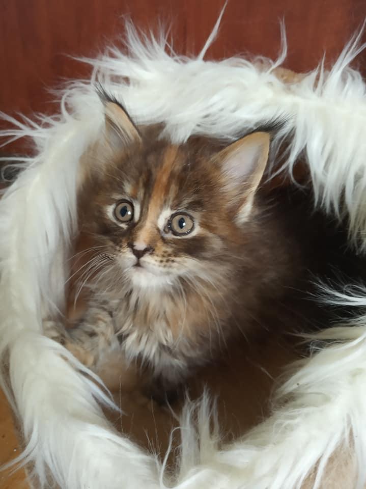 Koteczka Lyra Dom Futrzaków*PL
